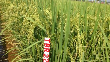 Giá giống lúa TBR225: Đặc điểm và cách chăm sóc